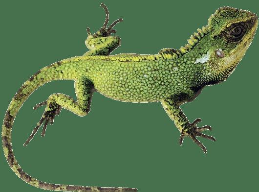 Green Lizard transparent PNG.