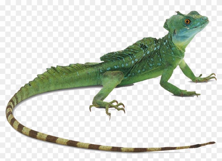 Green Lizard Free Desktop Background.