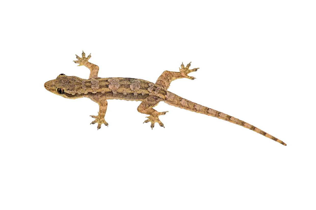 House Lizard PNG Transparent House Lizard.PNG Images..