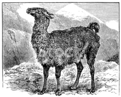 Antique Illustration of Llama (lama Glama) stock vectors.