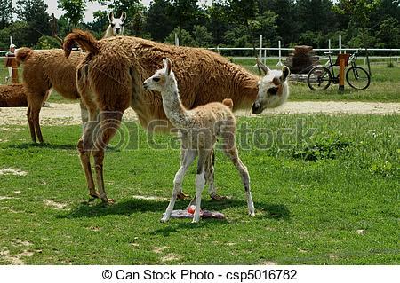 Picture of Llamas (Lama glama).