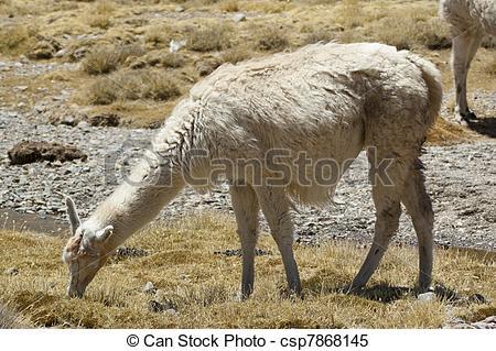Stock Images of Llamas (Lama glama.