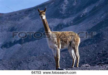 Stock Photo of Llama (Lama glama) standing on volcanic landscape.