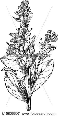 Clip Art of Lobelia swollen or Asthma weed, vintage engraving.