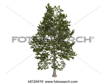 Stock Illustration of Loblolly pine or Pinus taeda k6124419.