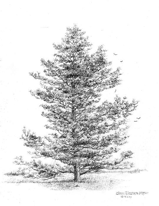 Loblolly Pine Tree Clip Art Keywords & Suggestions.