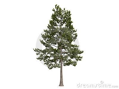 Similiar Loblolly Pine Tree Clip Art Keywords.