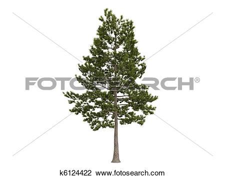Clip Art of Loblolly pine or Pinus taeda k6124422.