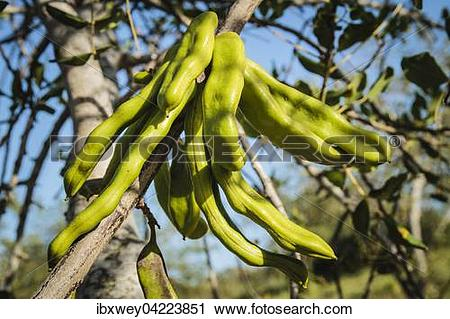 Stock Photography of Saint John's bread, also carob tree or locust.