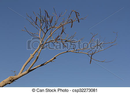 Pictures of Locust bean tree.