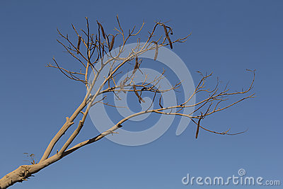 Locust Bean Tree Stock Photo.