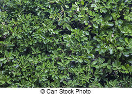 Stock Bilder von Büsche, lorbeer, Hecke, grün, Blätter.