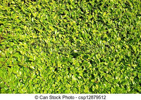 Stock Fotografie von lorbeer, busch, grün, landschaftsbild, Hecke.