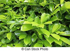 Stock Fotografie von lorbeer, busch, grün.