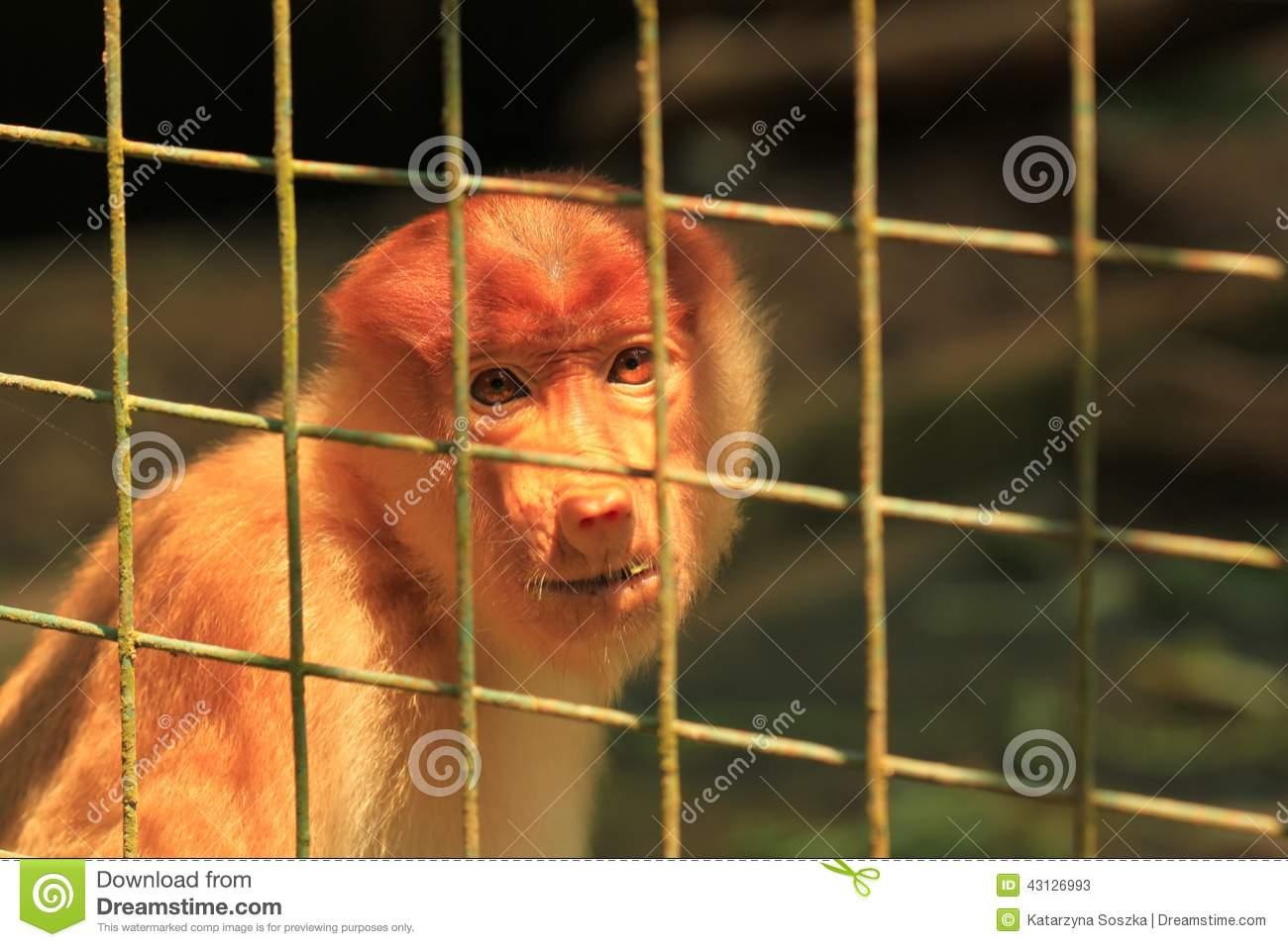 Sad Proboscis Monkey In A Cage Stock Photo.