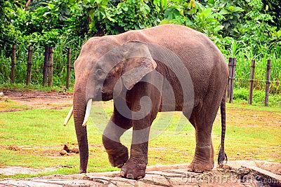 Borneo Pygmy Elephant Stock Image.