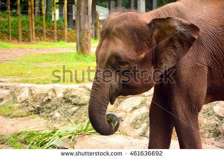 Borneo Pygmy Elephant Stock Photos, Royalty.