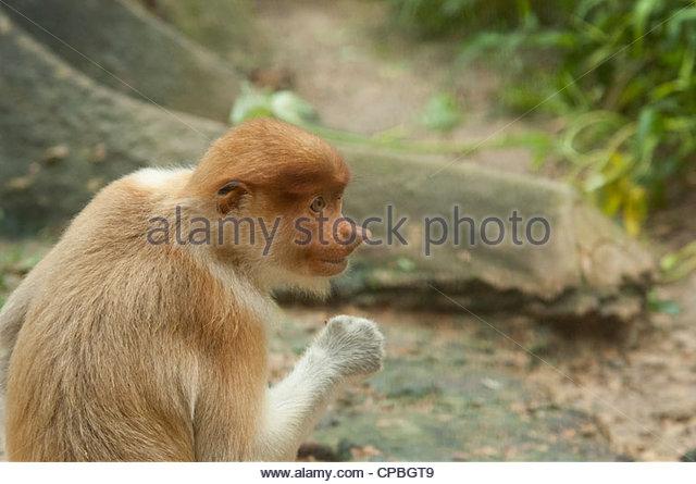 Proboscis Monkey Face Stock Photos & Proboscis Monkey Face Stock.