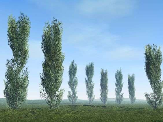 Poplar Tree.