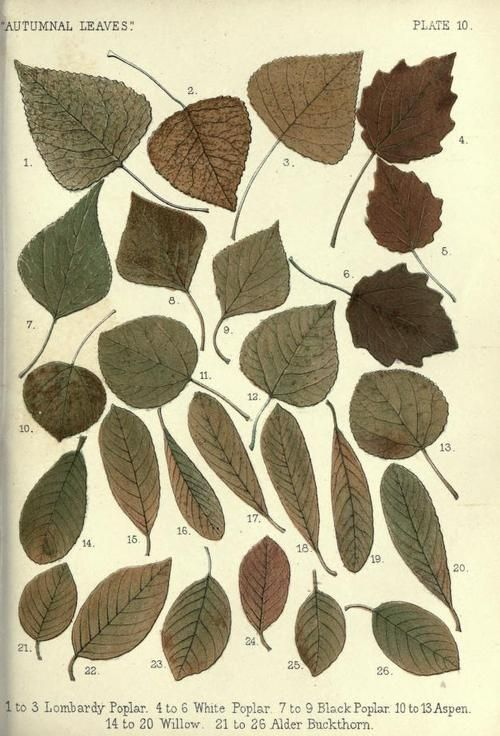 Lombardy Poplar, White Poplar, Black Poplar, Aspen, Willow and.
