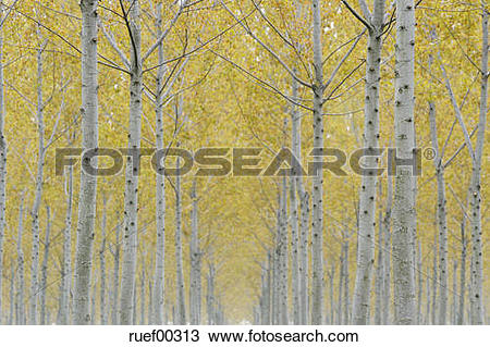 Stock Photo of Italy, Lombardy, Poplar trees (Populus spec.