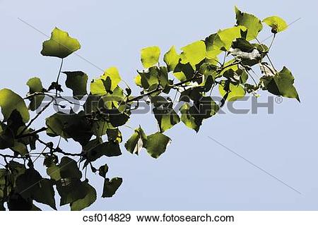 Stock Photograph of Germany, View of lombardy poplar tree, close.
