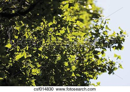 Stock Photography of Germany, View of lombardy poplar tree, close.
