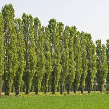 Lombardy Poplar.