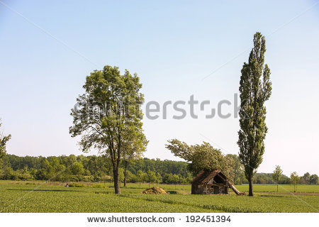 Lombardy Poplar Stock Photos, Royalty.