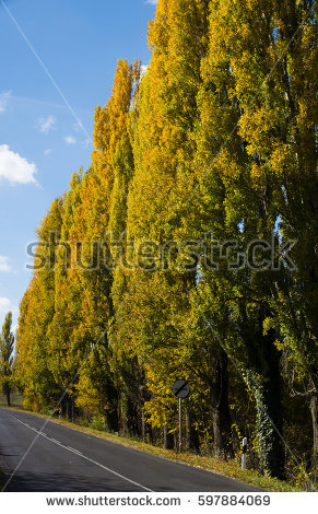 Lombardy Poplar Stock Images, Royalty.