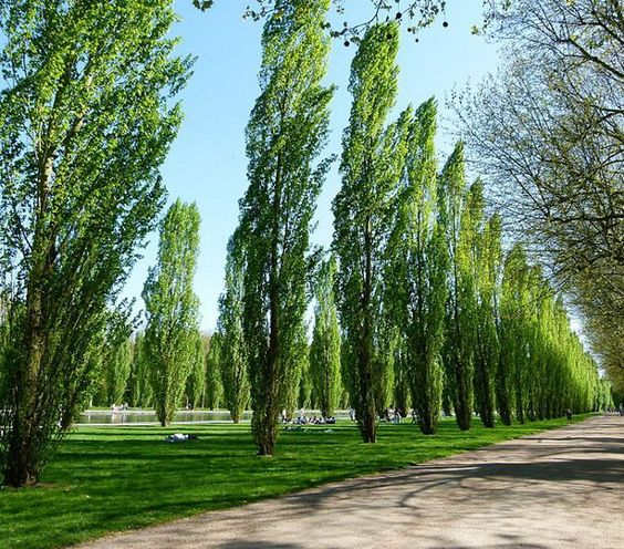 Lombardy poplar trees clipart - Clipground