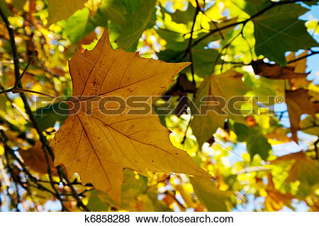 Pictures of London Plane tree leaves in East Grinstead k6858288.