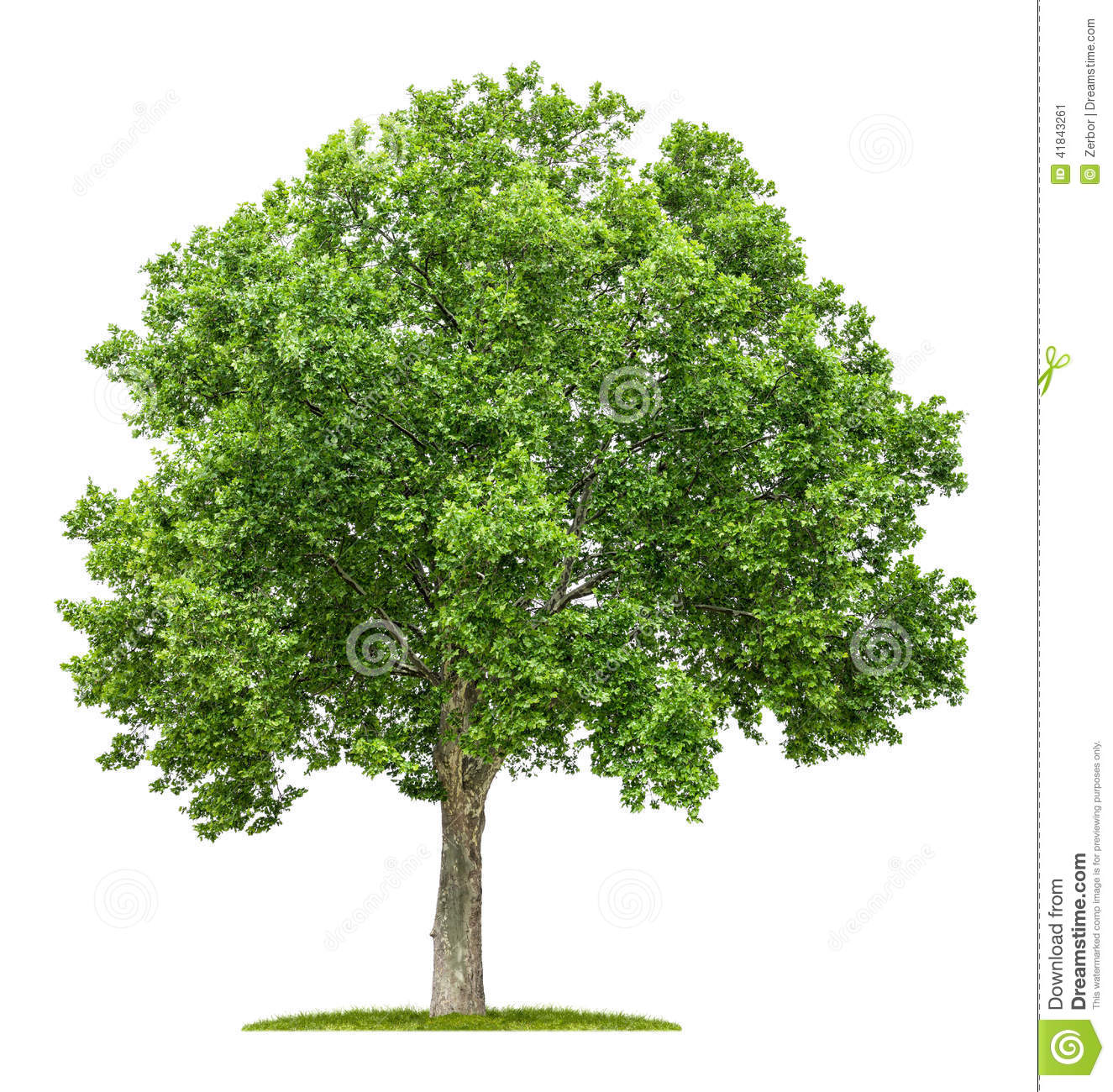 Plane Tree On A White Background Stock Photo.
