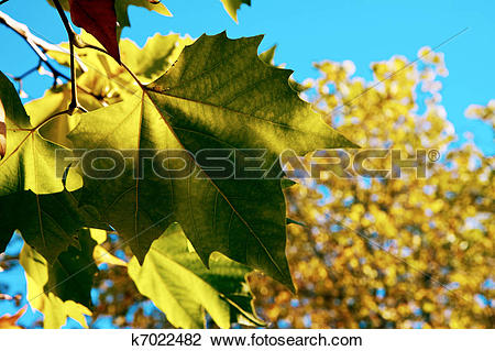 Stock Photo of London Plane tree leaves in East Grinstead k7022482.