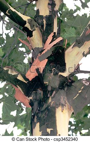 Stock Photography of Young London plane tree sheds its bark.