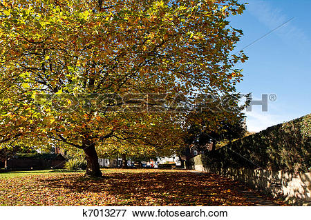 Picture of London Plane tree canopy in East Grinstead k7013277.