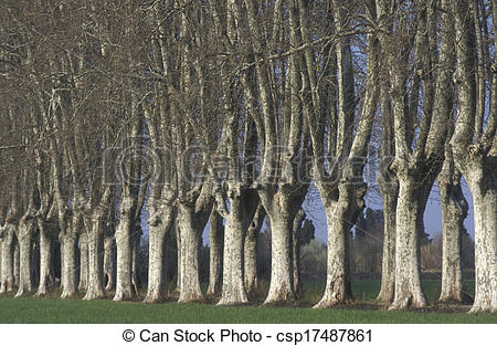 Stock Image of London plane, Platanus hispanica muenc , trees in a.