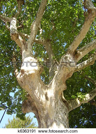 Stock Photography of London Plane Tree k6363191.
