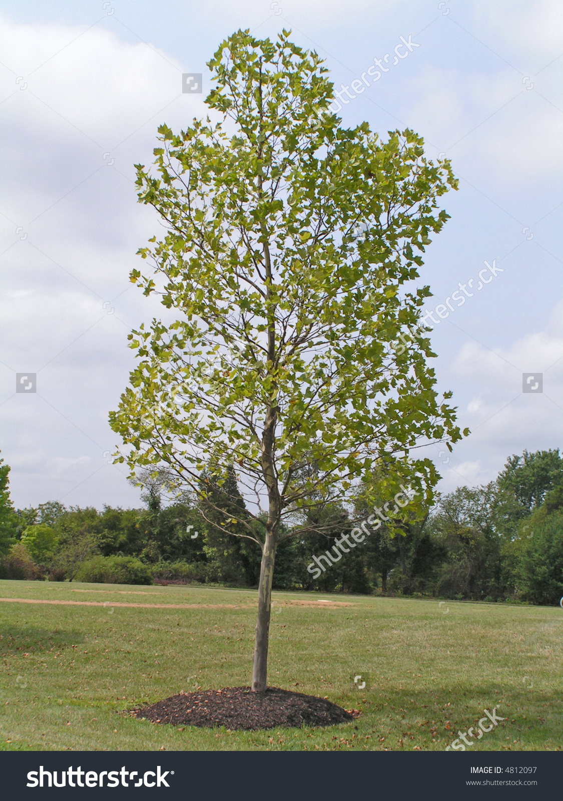 London Plane Tree Planted Tree Ring Stock Photo 4812097.