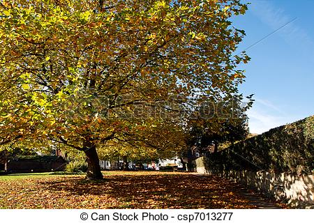 Picture of London Plane tree canopy in East Grinstead csp7013277.
