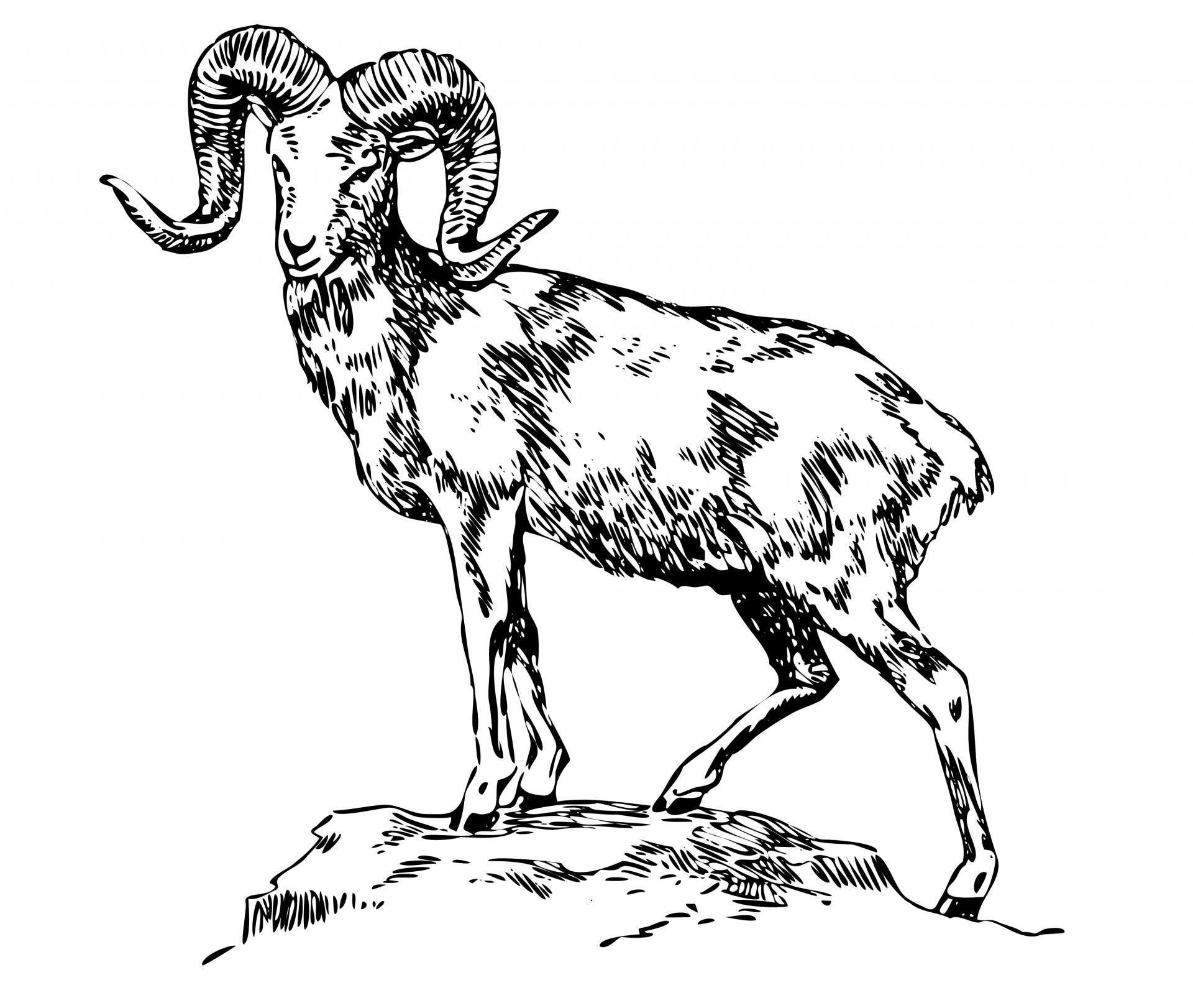Mountain Sheep Illustration Clipart Free Stock Photo.