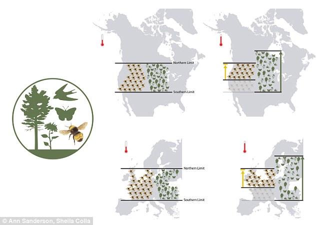 Global warming shrinks range of pollinating bumblebees in America.