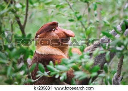 Stock Photography of proboscis monkey long nosed k7209831.