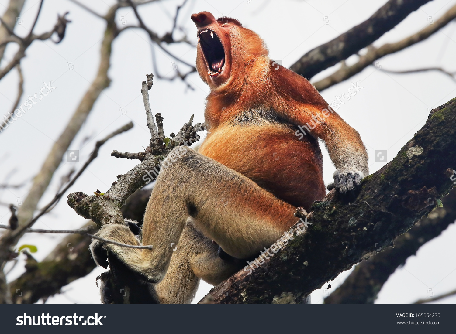 Endangered Proboscis Monkey Nasalis Larvatus Sitting Stock Photo.