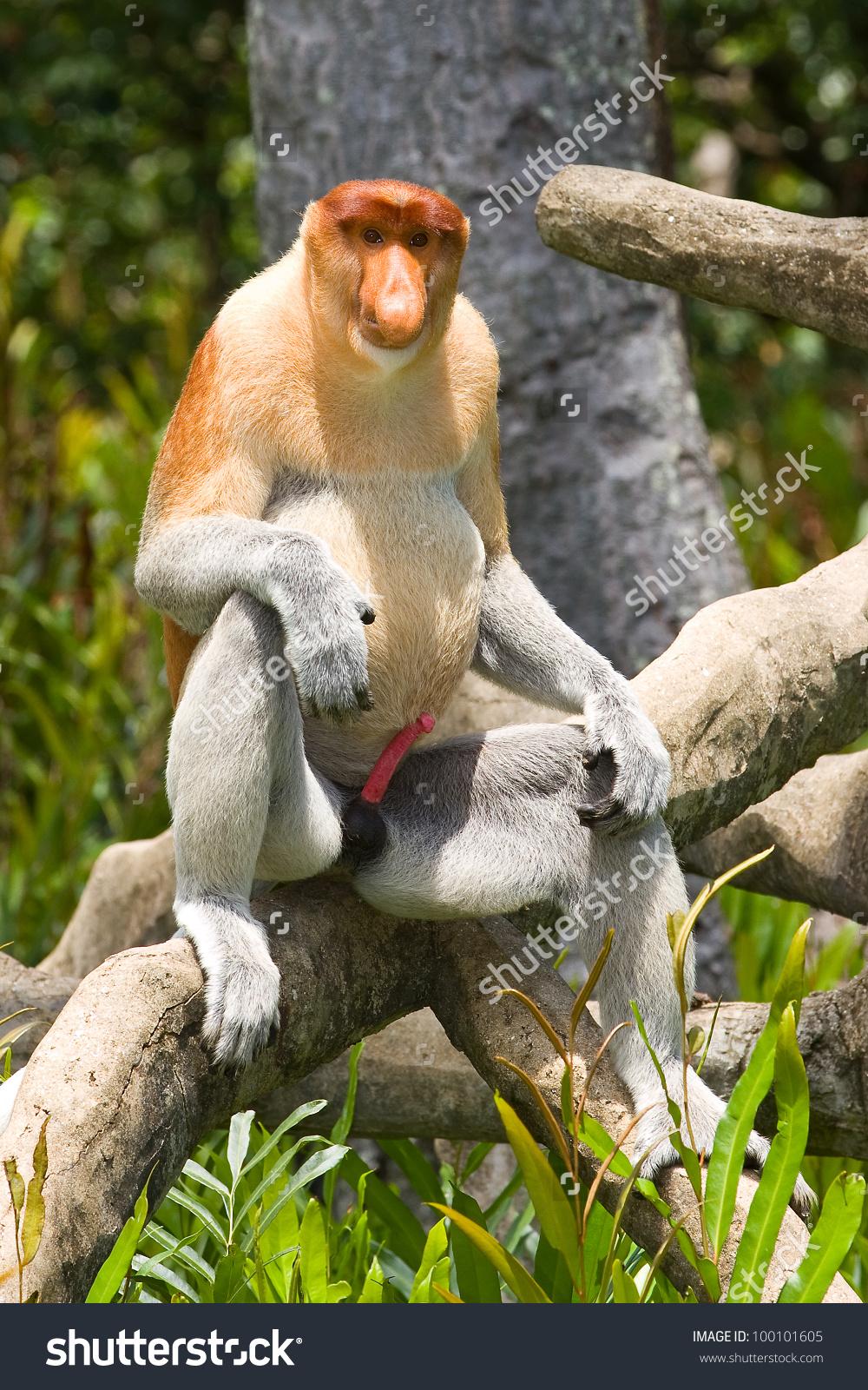 Proboscis Monkey Nasalis Larvatus Borneo Stock Photo 100101605.