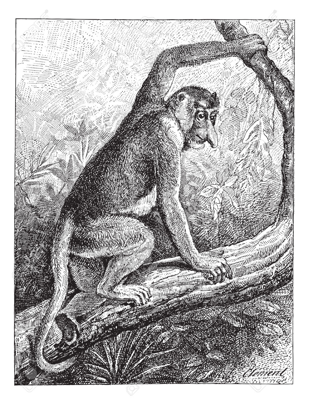 Kahau Or Proboscis Monkey (Nasalis Larvatus) Or Long.