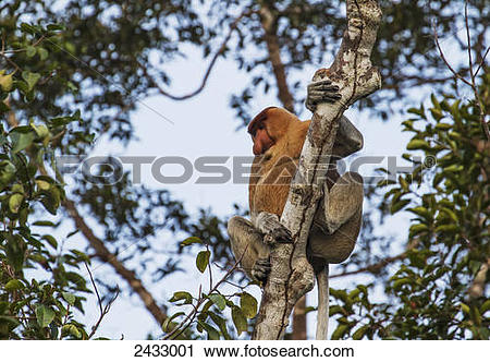Stock Photography of Proboscis monkey or long.