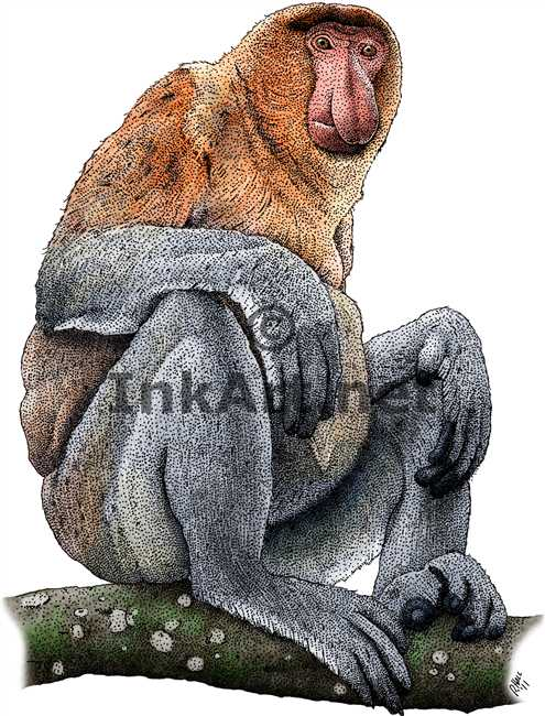 Full color illustration of a Proboscis Monkey (Nasalis larvatus.
