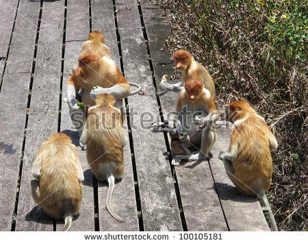 Proboscis Monkey, Nasalis Larvatus, Or Long Nosed Monkey, Borneo.