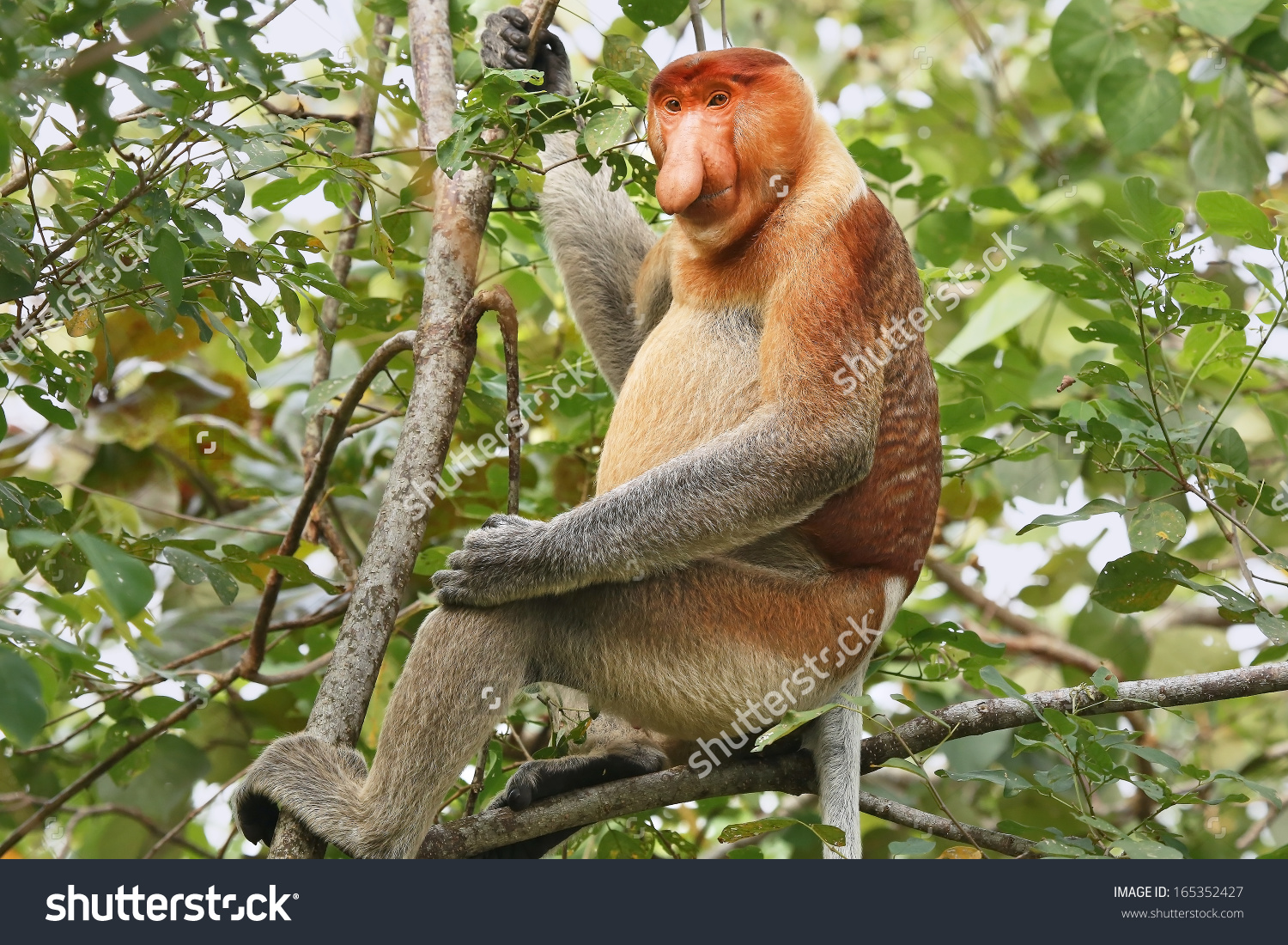 Highly Endangered Proboscis Monkey Nasalis Larvatus Stock Photo.